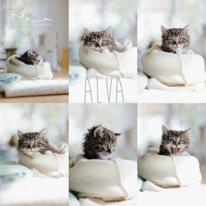 Alva, Katzenbaby, Babykatze, Babyfotografie, Bietigheim-Bissingen, Lillemor Fotografie