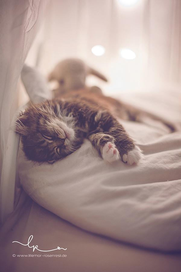Katzenkind, Alva. Perserkätzchen, müdes Katzenbaby, Lillemor Fotografie, Bietigheim-Bissingen