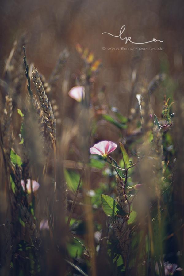 wenn man sich am Feldrand mal gaaanz klein macht, Ackerwinde im Getreidefeld, Lillemor Naturfotografie