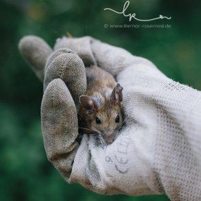 Alvamitbringselchen, Mäuschen, Mausefotografin Lillemor